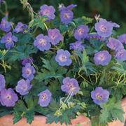 Geranium 'Rozanne' - 3 geranium jumbo plug plants