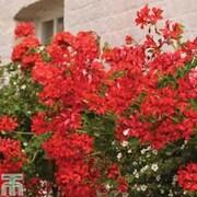 Geranium 'Balcon Red' - 5 geranium jumbo plug plants