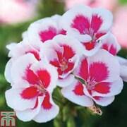 Geranium 'Flower Fairy White Splash' - 10 geranium jumbo plug plants