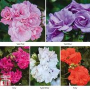 Geranium 'Sybil Collection' - 5 geranium jumbo plug plants - 1 of each colour