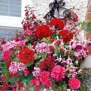 Geranium and Fuchsia Basket Collection - 10 plug plants