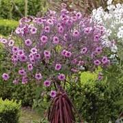 Geranium maderense - 1 x 12cm potted geranium plant