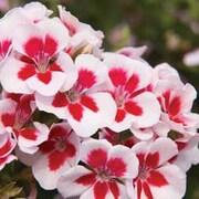 Geranium 'Swizzle Stick' - 3 geranium jumbo plug plants
