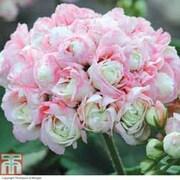 Geranium 'Appleblossom Rosebud' - 6 geranium jumbo plug plants