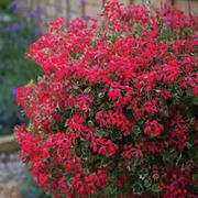 Geranium 'Evka' - 10 geranium jumbo plug plants