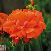 Geranium 'Shocking Orange' - 10 geranium plug plants