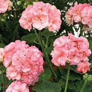 Geranium 'Blushing Sophie' - 5 geranium jumbo plug plants