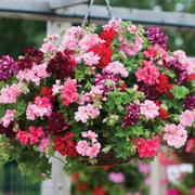 Geranium 'Azalea-Flowered Collection' - 10 geranium jumbo plug plants
