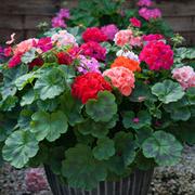 Geranium 'Jackpot Mixed' F1 Hybrid (Garden Ready) - 30 geranium garden ready plants
