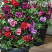Geranium 'Summer Sunrise' - 10 geranium jumbo plug plants