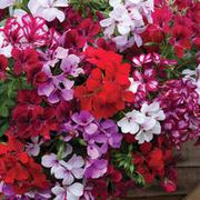 Geranium 'Supreme Mixed' (Pre-Planted Basket) - 1 x geranium pre-planted basket with 5 plants