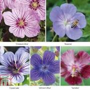 Geranium Hardy Singles - 10 bare root hardy geranium plants - 2 of each colour