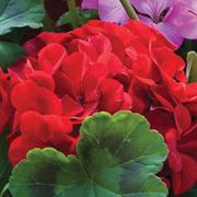 Geranium 'Jackpot Red' F1 Hybrid - 36 geranium plug plants