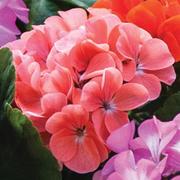Geranium 'Jackpot Coral' F1 Hybrid - 36 geranium plug plants