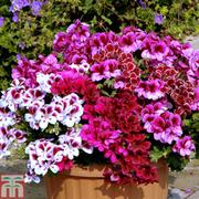 Geranium 'Regal Collection' - 5 geranium plug plants - 1 of each colour