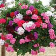 Geranium 'Rosebud Collection' (Garden Ready) - 5 x 7cm potted geranium garden ready plants