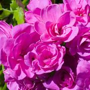 Geranium 'Purple Sybil' (Large Garden Ready Plant) - 1 x 3 litre potted geranium plant