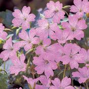 Geranium oxonianum 'Claridge Druce' (Large Plant) - 1 x 1 litre potted geranium plant
