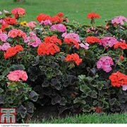 Geranium 'Black Velvet Mix' F1 (Pre-planted Pot) - 1 x geranium pre-planted pot + 100g pack of incredibloom®