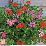Geranium 'Supreme Mixed' (Pre-Planted Basket) - 1 x geranium pre-planted basket + 100g pack of incredibloom®