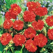 Geum flore-plena 'Blazing Sunset' - 1 packet (15 geum seeds)