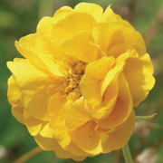 Geum 'Double Sunrise' - 1 bare root geum plant