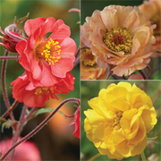 Geum 'Fruit Punch' Collection - 3 bare root geum plants - 1 of each variety