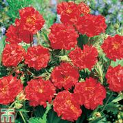 Geum 'Blazing Sunset' (Garden Ready) - 15 geum garden ready plants