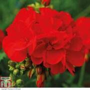 Geranium 'Octavia Hill' - 5 geranium jumbo plug plants