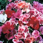 Godetia 'Thoroughly Modern Millie' - 1 packet (400 godetia seeds)