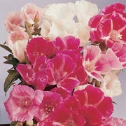 Godetia 'Improved Dwarf Mixed' - 1 packet (1500 seeds)