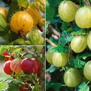 Gooseberry Collection - 3 bare root gooseberry plants - 1 of each variety