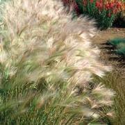 Hordeum jubatum - 1 packet (100 hordeum seeds)