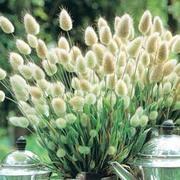 Grass Hare's Tail - 1 packet (150 grass seeds)