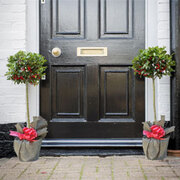 Holly 'Green Alaska' - 2 x 3 litre potted Holly plants