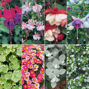 Hanging Basket Collection - 8 Postiplug plants - 1 of each variety