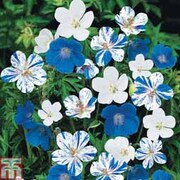 Hardy Geranium 'Hardy Blues Collection' - 3 bare root hardy geranium plants - 1 of each variety