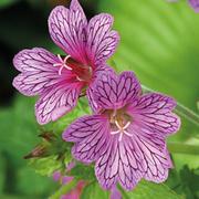 Geranium transversale 'Foundlings Friend' - 3 geranium jumbo plug plants