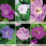 Hardy Geranium Collection - 6 geranium bare root plants + 100g geranium fertiliser