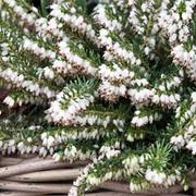 Erica carnea f. alba 'Snow Queen' (Large Plant) - 1 x 2 litre potted Erica plant