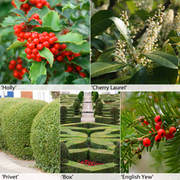 Evergreen Hedging Collection - 25 bare root hedging plants