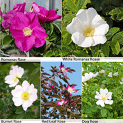 Rose Hedging Collection - 25 bare root hedging plants