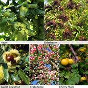 Edible Hedging Collection - 25 bare root hedging plants