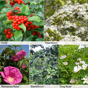Security Hedging Collection - 25 bare root hedging plants
