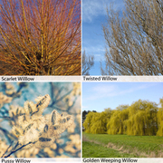 Salix Hedging Collection - 20 bare root hedging plants