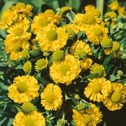 Helenium 'Double Trouble' (Large Plant) - 1 x 3 litre potted helenium plant