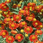 Helenium 'Ruby Tuesday' (Large Plant) - 1 x 1 litre potted helenium plant