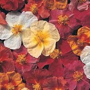 Helianthemum Collection - 1 packet (250 helianthemum seeds)