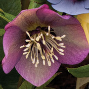Hellebore 'Red' - 1 x 7cm potted hellebore plant