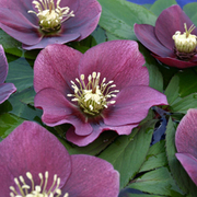 Hellebore 'Single Red' (Large Plant) - 1 x 2 litre potted hellebore plant